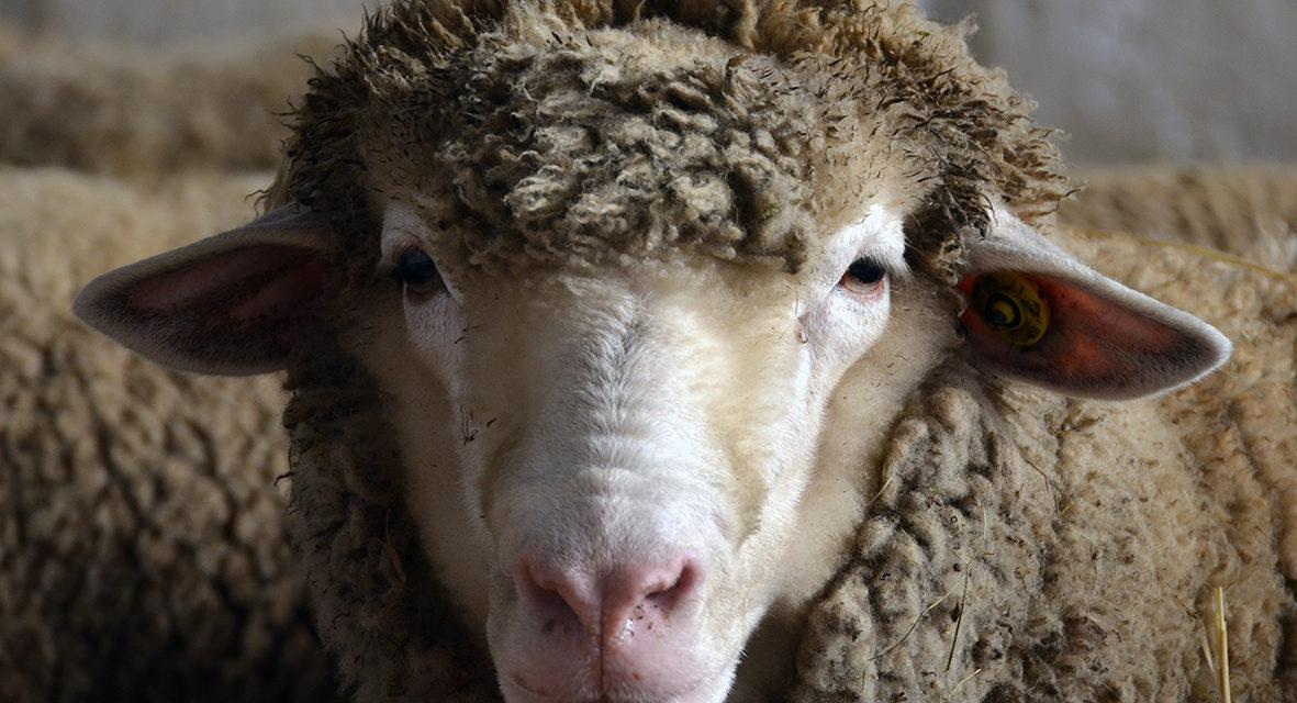La pecora Sopravissana
